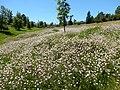 Coronilla varia - crownvetch - Flickr - Matt Lavin (7).jpg