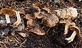Cortinarius tuolumnensis Bojantchev 748277.jpg