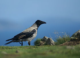 Corvus cornix -Bray Head, County Wicklow, Ireland-8.jpg