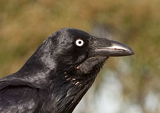 Australian raven - Adult in Sydney. Shows bare skin on neck