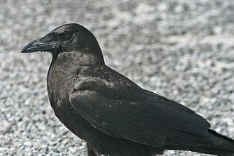 Fish crow - Image: Corvus ossifragus Everglades