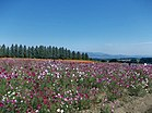 Cosmos in Ikoma Plateau October 2012 02.jpg