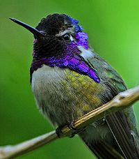 Costa's hummingbird (Calypte costae)-cropped.jpeg