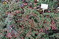 Cotoneaster congestus - Botanischer Garten, Dresden, Germany - DSC08950.JPG