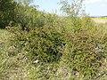 Cotoneaster horizontalis sl1.jpg