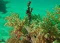 Couple of Harlequin Ghost Pipefishes (Solenostomus paradoxus) (8492976910).jpg