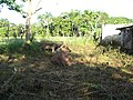 Cow in abandoned lot, May 2010 - panoramio.jpg