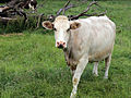 Cows at Great Waltham village, Essex, England 08.JPG