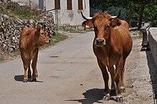 """Résultat de recherche d'images pour """"vaches corses"""""""