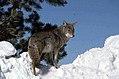 Coyote034 (26841416812).jpg