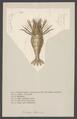 Crangon boreas - - Print - Iconographia Zoologica - Special Collections University of Amsterdam - UBAINV0274 006 02 0035.tif