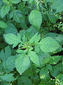 Crassocephalum crepidioides leaf4 (13347401453).jpg
