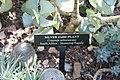 Crassula arborescens 1zz.jpg