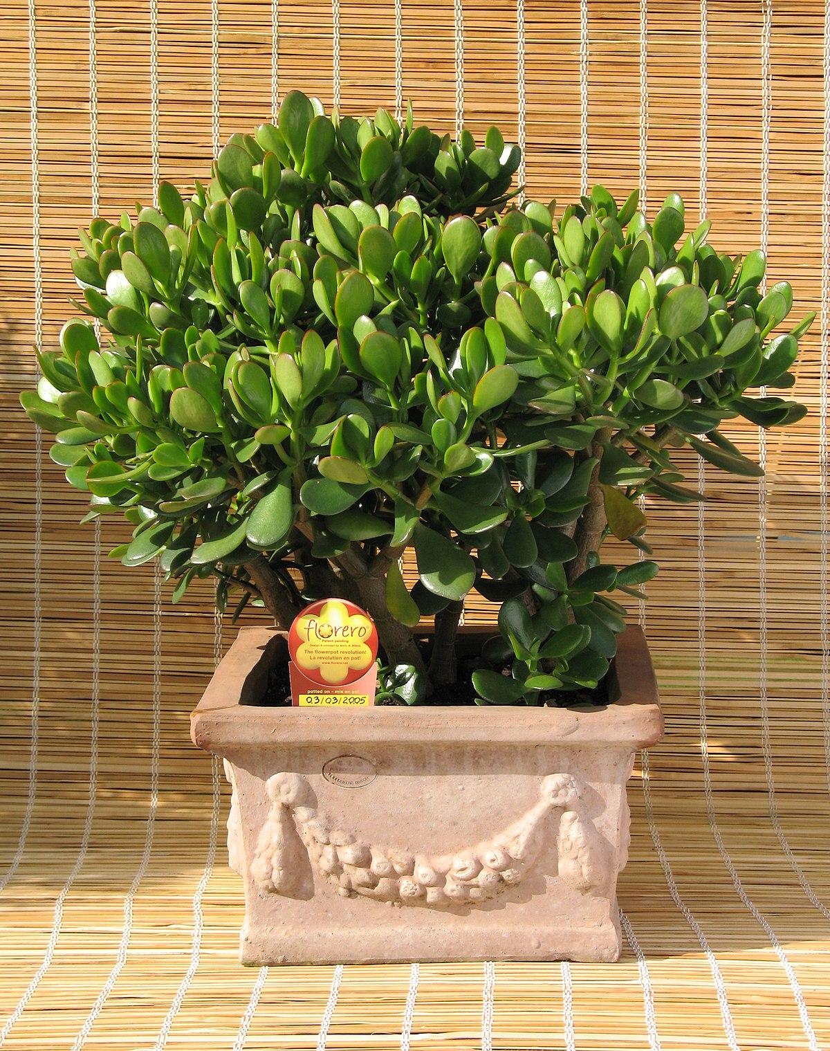 Crassula ovata wikipedia for Plant de pot exterieur