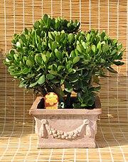 Potteplante wikipedia den frie encyklop di for Bouture yucca exterieur