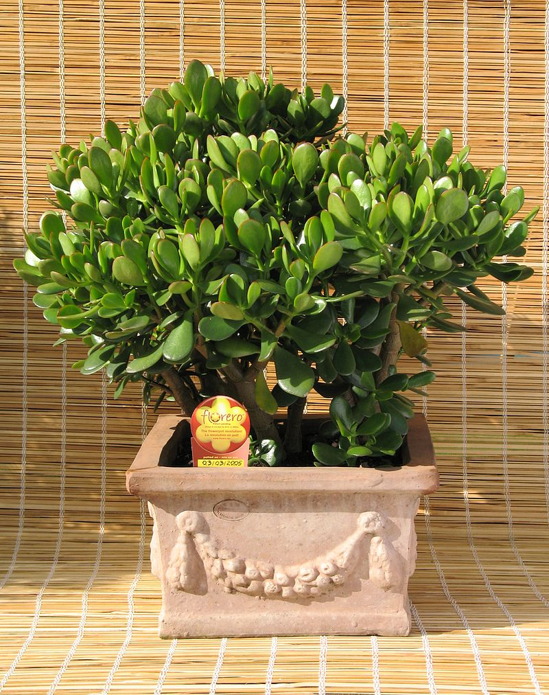 Description de l'image Crassula ovata + Florero.jpg.