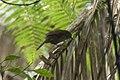 Crescent-chested Babbler - Gunung Gede - West Java MG 4809 (30049877751).jpg