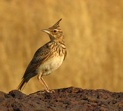 Crested Lark at Tembavli.jpg