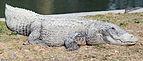Crocodiles in Hamat Gader 02.jpg
