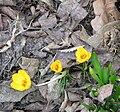 Crocus chrysanthus 'Gipsy Girl'.JPG