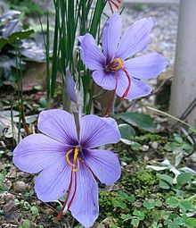 A single shell-shaped violet flower is in sharp centre focus amidst a blurred daytime and overcast garden backdrop of soil, leaves, and leaf litter. Four narrow spine-like green leaves flank the stem of the blossom before curving outward. From the base of the flower emerge two crooked and brilliant crimson rod-like projections pointing down sideways. They are very thin and half the length of the blossom.