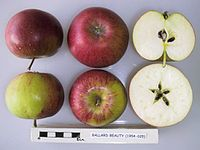 Cross section of Ballard Beauty, National Fruit Collection (acc. 1954-025).jpg