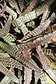 Cryptanthus fosterianus kz1.jpg