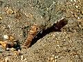 Cryptocentrus strigilliceps (Target shrimpgoby) and Alpheus rapacida (Snapping shrimp).jpg