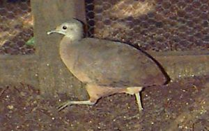 Little tinamou - Image: Crypturellus soui