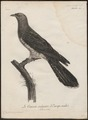 Cuculus canorus - 1796-1808 - Print - Iconographia Zoologica - Special Collections University of Amsterdam - UBA01 IZ18800221.tif