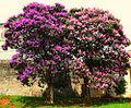 Cultivarquaresmeira.jpg
