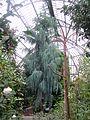 Cupressus cashmeriana in greenhouse.jpg
