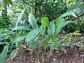 Curcuma domestica-Sri Lanka (1).jpg