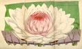 Curtis's Botanical Magazine, Plate 4276 (Volume 73, 1847).png