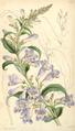 Curtis's Botanical Magazine, Plate 4319 (Volume 73, 1847).png