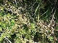 Cuscuta epithymum sl5.jpg