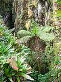 Cyathea arborea - Cyathea arborea-La Soufrière-Guadeloupe 2.JPG