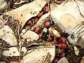 Cydnus aterrimus.jpg