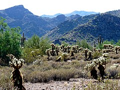 Cylindropuntia bigelovii in White Tank Mountains Reg Park - Vegetation and Peaks 02 - 60174.jpg