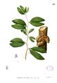 Cynometra cauliflora Blanco1.213.png