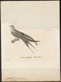 Cypselus parvus - 1700-1880 - Print - Iconographia Zoologica - Special Collections University of Amsterdam - UBA01 IZ16700097.tif
