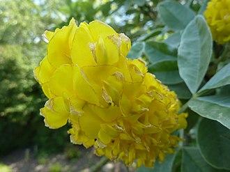 Argyrocytisus - Cambridge University Botanic Garden (Manske 2010)