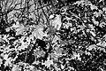 Dülmen, Börnste, Herbstlaub -- 2020 -- 3562 (bw).jpg