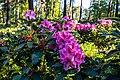 Dülmen, Welte, Rhododendronwald -- 2020 -- 6899.jpg