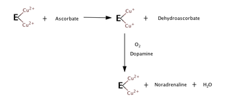 Dopamine beta-hydroxylase - In the absence of oxygen, dopamine or other substrates, the enzyme and ascorbate mixture produces reduced enzyme and dehydroascorbate. Exposing the reduced enzyme to oxygen and dopamine results in oxidation of the enzyme and formation of noradrenaline and water, and this step doesn't require ascorbate.