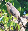 DRbirds Mangrove Cuckoo c.jpg