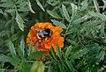 DSC3871 Джміль.jpg
