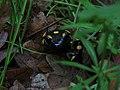 Daždevnjak - Salamandra salamandra.jpg