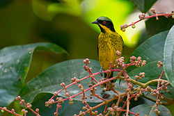 Dacnis flaviventer, Yellow-bellied Dacnis.jpg