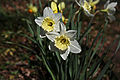 Daffodils (Narcissus) in Texas.jpg